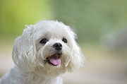 Maltese Puppy Photos - White Maltese Dog Sticking Out Tongue by Boti