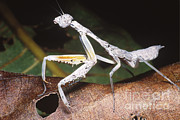 Mantid Prints - White Mantid Print by Dante Fenolio