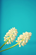Hyacinth Metal Prints - White Muscari Flowers Metal Print by Photo by Ira Heuvelman-Dobrolyubova