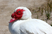 White Muscovy Duck With Red Bill Print by Tracie Kaska
