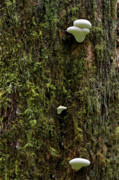Bark Design Photos - White Mushrooms - Quinault temperate rain forest - Olympic Peninsula WA by Christine Till