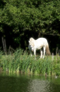 White Unicorn Photos - White mystery horse by Adam Szewczak