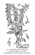 White Nettle Print by Granger
