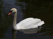 White North American Mute Swan Print by Alex Roussinov
