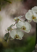 Orchid Macro Framed Prints - White of the Evening Framed Print by Mike Reid