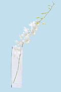 Flower Vase Posters - White On Blue Poster by Atiketta Sangasaeng