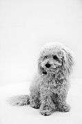 Cute White Bichon Frise Miniature Poodle Puppy Photos - White on white by Asta Viggosdottir