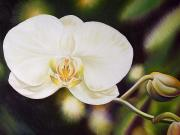 Orchid Art Paintings - White Orchid by Barbara Eberhart - Printscapes