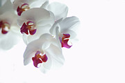 Pink White Framed Prints - White Orchid Blossoms Framed Print by photography by Spencer Bowman