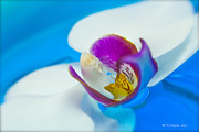 Photography Prints Originals - White Orchid by Christopher  Ward