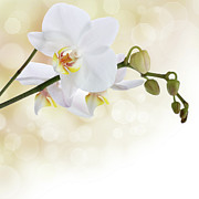 Flower Mixed Media Prints - White orchid flower Print by Pics For Merch
