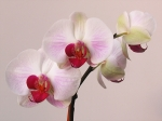 Delicate Framed Prints - White Orchid  Framed Print by Juergen Roth