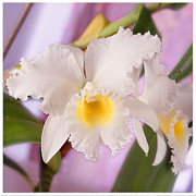 White Photo Framed Prints - White Orchid Framed Print by Mike McGlothlen