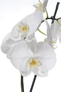 Flowers On White Background Prints - White Orchid Print by Photostock-israel