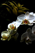 White On Black Prints - White orchid with dark background Print by Jasna Buncic