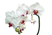"\""flower Texture\\\"" Photos - White Orchids by Ann Garrett"
