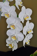 Orchids Art - White Orchids by Diana Nigon