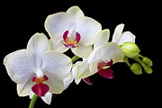Stem Photos - White Orchids by Garry Gay