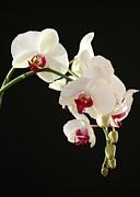 Sabrina L Ryan - White Orchids
