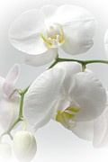 Stephen Clarridge Metal Prints - White orchids Metal Print by Stephen Clarridge