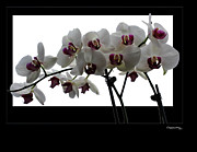 Xoanxo Cespon Framed Prints - White Orchids Framed Print by Xoanxo Cespon