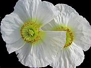 White Oriental Poppies Print by Judith Turner
