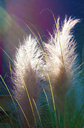 White Pampas Grass Print by Richard Marquardt