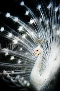 Animal Themes Prints - White Peacock Print by Copyright (c) Richard Susanto