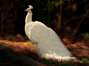 Animal Framed Prints - White Peacock in Golden Hour Framed Print by Constance Woods
