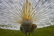 Mating Animals Photos - White Peacock by Joana Kruse