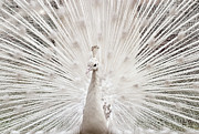 Peacock Tapestries Textiles - White Peacock, Lahore by pharan Tanveer