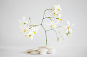 Jasmine Framed Prints - White Pebbles And Jasmine Flowers Framed Print by Gil Guelfucci