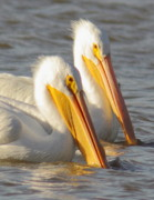 Business Decor Framed Prints - White Pelican Couple Framed Print by Robert Frederick