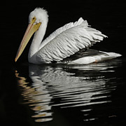 White Pelicans Framed Prints - White Pelican DE Framed Print by Ernie Echols