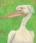 Pelican Drawings Metal Prints - White Pelican Metal Print by Elizabeth Farrell