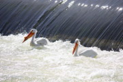 White Pelicans Framed Prints - White Pelicans  Framed Print by Carol Groenen