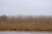 Flocks Of Birds Prints - White Pelicans fly over reed bed on lake  Print by Cliff  Norton