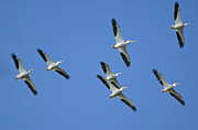 Flying White Pelicans Framed Prints - White Pelicans in Flight 1 Framed Print by Patrick M Lynch