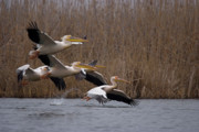 Flocks Of Birds Prints - White Pelicans in flight over lake Print by Cliff  Norton