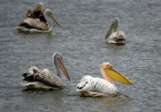 Flocks Of Birds Prints - White Pelicans on lake  Print by Cliff  Norton