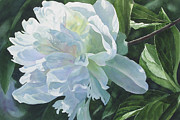 Watercolor Art Paintings - White Peony by Sharon Freeman