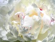 Delightful Prints - White Peony Print by Will Borden