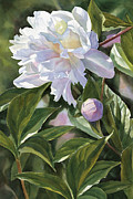 White Flowers Paintings - White Peony with Bud by Sharon Freeman
