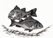Fish Underwater Drawings - White Perch by Kathleen Kelly Thompson