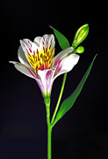 Flower Works Photos - White Peruvian Lily. by Chris  Kusik
