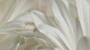 Joan Powell - White Petals