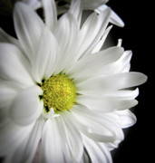 Gerbera Art - White Petals by Julie Palencia
