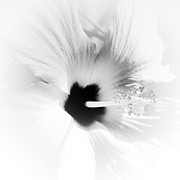 Petunia Photos - White Petunia by David Patterson