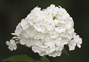 Phlox Photo Prints - White Phlox Print by Teresa Mucha