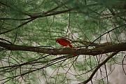 Wv Photos - White Pine Cardinal by Randy Bodkins